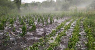 Sute de hectare de culturi agricole au fost distruse de ploile torențiale în raionul Soroca