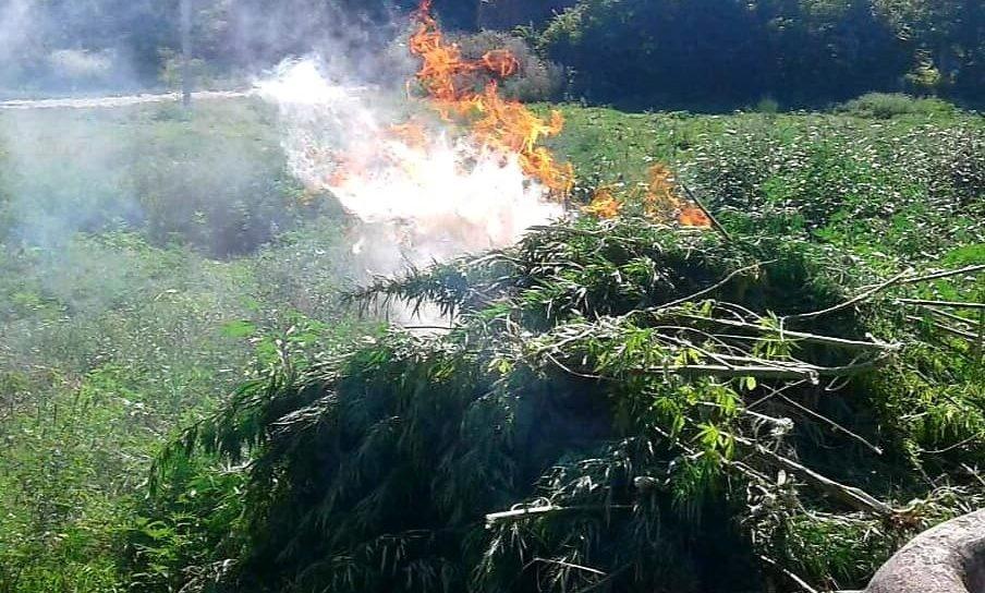 /FOTO/ Sute de plante de cânepă au fost distruse în raionul Soroca