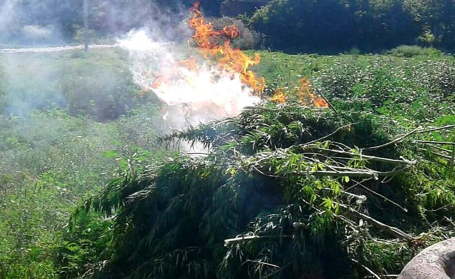 Foto /FOTO/ Sute de plante de cânepă au fost distruse în raionul Soroca 1 21.09.2021