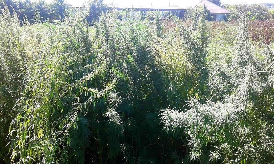 Foto /FOTO/ Sute de plante de cânepă au fost distruse în raionul Soroca 2 21.09.2021