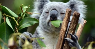 Foto Australia a rămas fără o treime din populația de urși koala în ultimii ani 5 22.09.2021