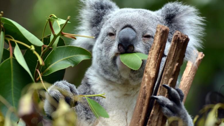Foto Australia a rămas fără o treime din populația de urși koala în ultimii ani 1 27.10.2021