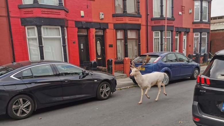 Foto /VIDEO/ Un cerb alb a fost împușcat pe străzile unui oraș din Anglia 1 27.10.2021
