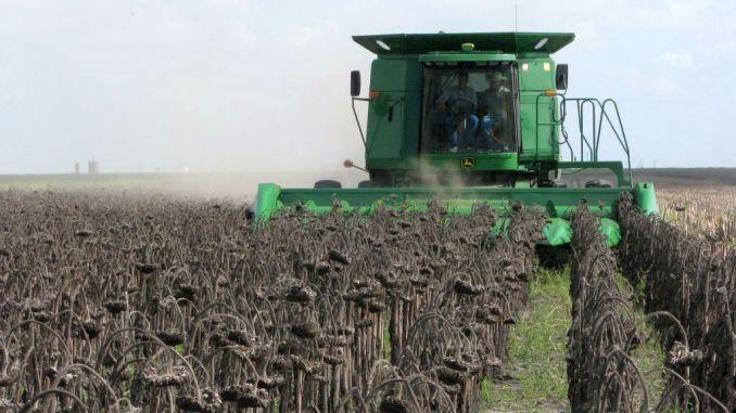 Foto /VIDEO/ Floarea soarelui: Agricultorii prognozează o recoltă triplă, față de anul trecut 4 21.09.2021