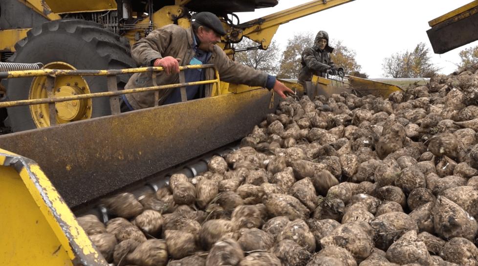 Foto /VIDEO/ Sfeclă multă, dar zahăr mai puțin. Ce spun specialiștii despre recolta din acest an 1 17.10.2021